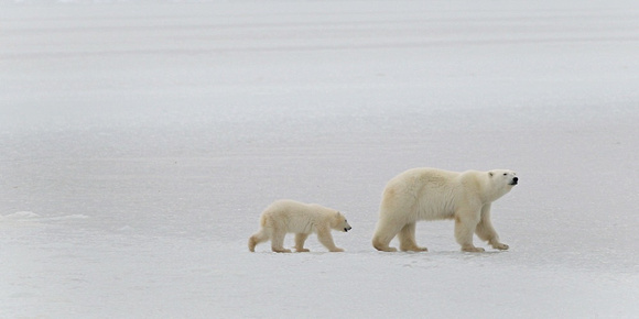 Mother & Cubs Traveling 2