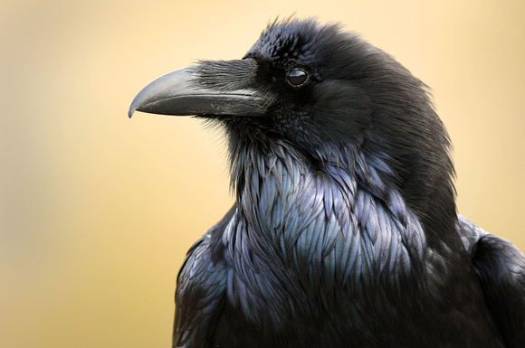 Raven, up close and personal