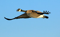 Canada Goose, in flight