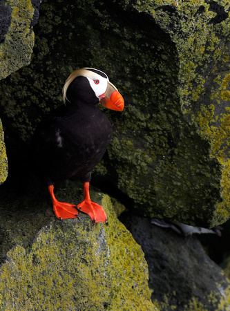 Tufted Puffin, perched