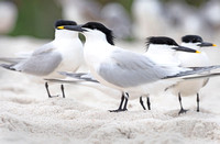 Sandwich Terns, at rest