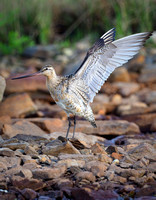 Bar-tailed Godwit, stretch