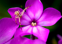 Crab spider poised on phlox.