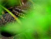 Northern water snake, Pennsylvania