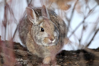 Mountain cottontail rabbit, Montana