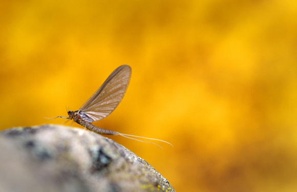 Mayfly adult resting. Montana