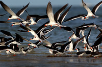 Black skimmers, in flight
