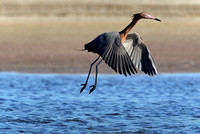 Reddish egret, lift off
